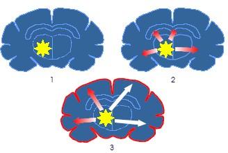 hersenen kat